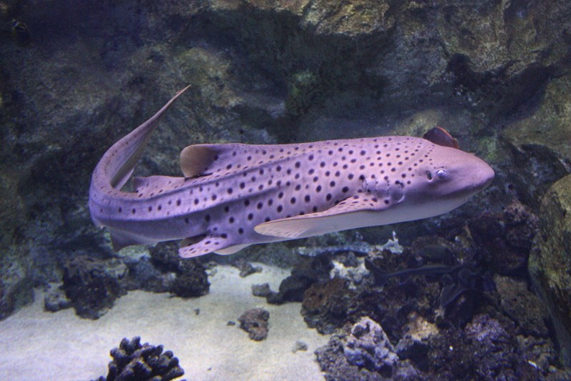 Seaquarium au Grau du Roi stegostoma fasciatum